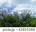 青空と白い雲とアガパンサスの青い花 42655366