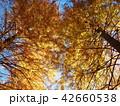 メタセコイアと秋の青空 42660538