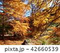 秋の色に染まったメタセコイア 42660539