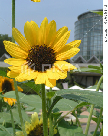 夏の花といえば黄色いヒマワリ 42666243