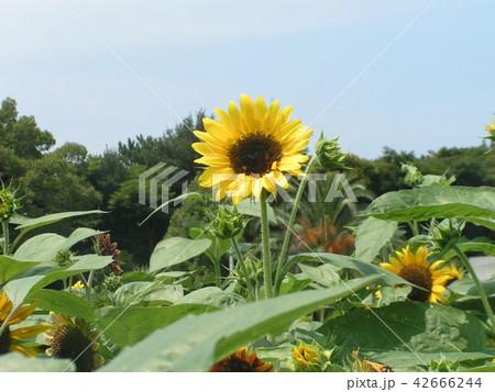 夏の花といえば黄色いヒマワリ 42666244