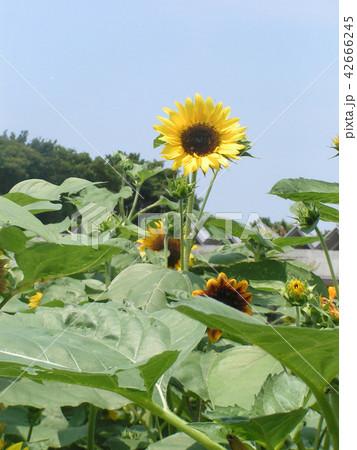 夏の花といえば黄色いヒマワリ 42666245