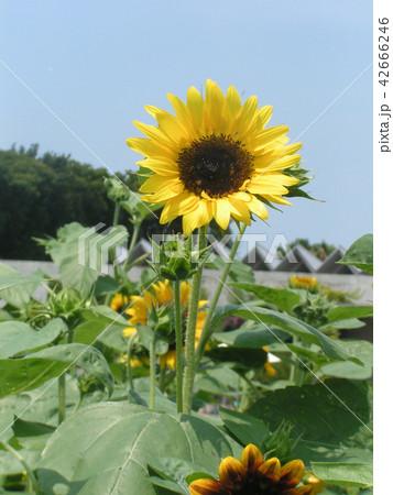 夏の花といえば黄色いヒマワリ 42666246