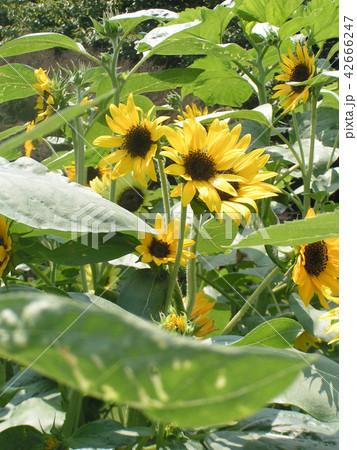 夏の花といえば黄色いヒマワリ 42666247