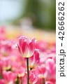 チューリップ 花 植物の写真 42666262