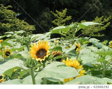 夏の花といえば黄色いヒマワリ 42666292