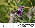 ゴボウ バードック お花の写真 42667792