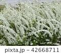 ユキヤナギ 42668711