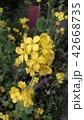 菜の花 42668735