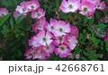 イヌバラ 42668761