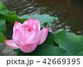 蓮の花開く 42669395