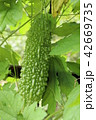 植物 つる性植物 ゴーヤの写真 42669735