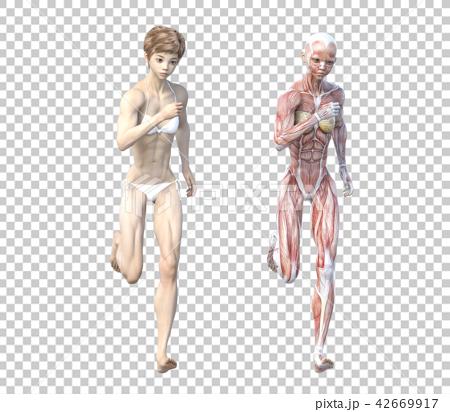 女性 解剖 筋肉 3DCG イラスト素材 42669917