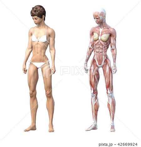 女性 解剖 筋肉 3DCG イラスト素材 42669924