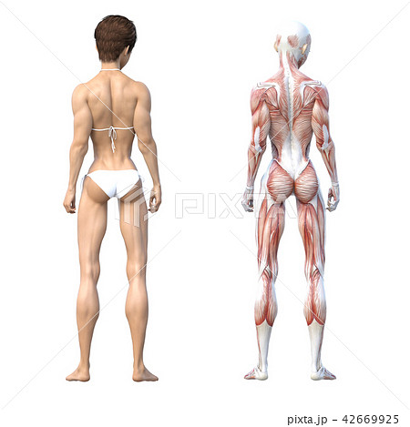 女性 解剖 筋肉 3DCG イラスト素材 42669925