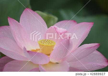 蓮の花と雨露 42669927