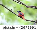 コシアカキヌバネドリの雄 42672991