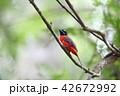コシアカキヌバネドリの雄 42672992