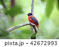 コシアカキヌバネドリの雄 42672993