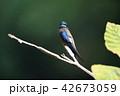 コシラヒゲカンムリアマツバメ 42673059