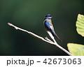 コシラヒゲカンムリアマツバメ 42673063