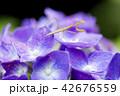 紫のアジサイの花に乗ったカマキリの幼虫 42676559