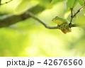 緑をバックに枝に乗ったニホンアマガエル 42676560