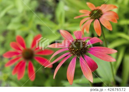 朱色から橙色のムラサキバレンギクの花 42676572