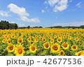 北海道 北竜町 ひまわりの里 満開のひまわり畑 42677536