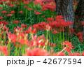 彼岸花 花 秋の写真 42677594