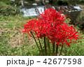 彼岸花 花 秋の写真 42677598