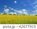 夏の北海道 美瑛 四季彩の丘 ひまわり畑  42677915