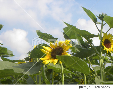 色々な花の咲くヒマワリの黄色い花 42678225