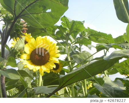 色々な花の咲くヒマワリの黄色い花 42678227