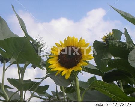 色々な花の咲くヒマワリの黄色い花 42678228