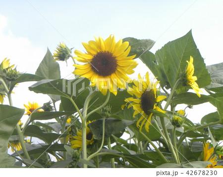 色々な花の咲くヒマワリの黄色い花 42678230