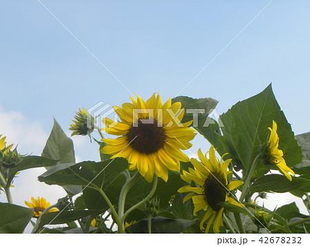 色々な花の咲くヒマワリの黄色い花 42678232
