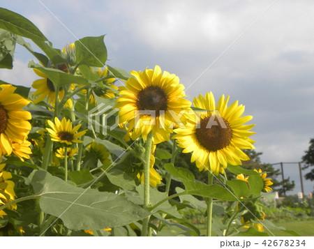 色々な花の咲くヒマワリの黄色い花 42678234