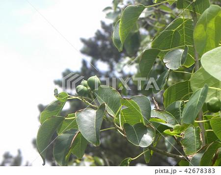 これから黒く熟し白い種を生むナンキンハゼの未熟な実 42678383