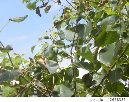 これから黒く熟し白い種を生むナンキンハゼの未熟な実 42678385