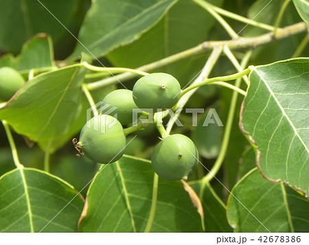 これから黒く熟し白い種を生むナンキンハゼの未熟な実 42678386