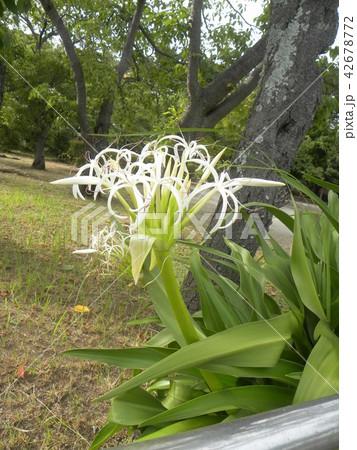 海岸に咲く白い繊細なハマユウの蕾 42678772