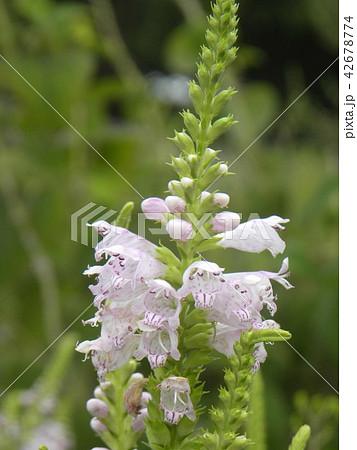 夏から秋にかけて咲くカクトラノオのピンクの花 42678774
