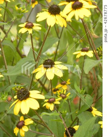 ヒマワリの小さい花のようなルドベキアの黄色い花 42678775