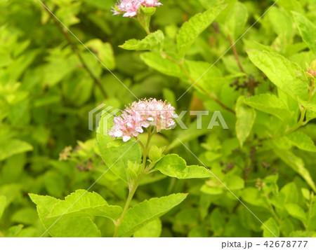 桃色の可愛い花はシモツケ 42678777