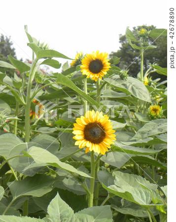 色々な花の咲く種類のヒマワリの黄色い花 42678890