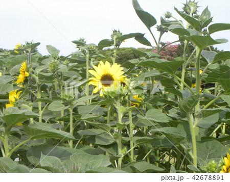 色々な花の咲く種類のヒマワリの黄色い花 42678891