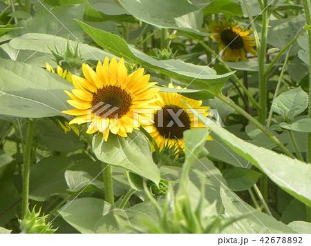 色々な花の咲く種類のヒマワリの黄色い花 42678892