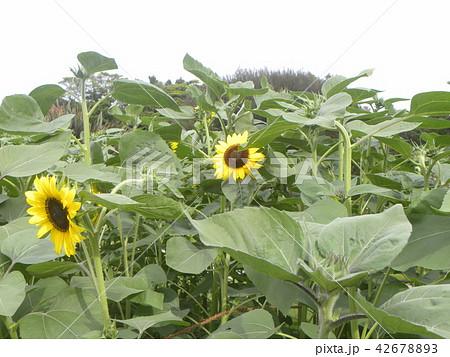 色々な花の咲く種類のヒマワリの黄色い花 42678893