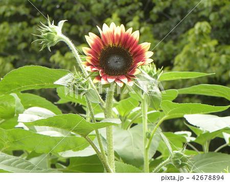 色々な花の咲く種類のヒマワリの赤色い花 42678894